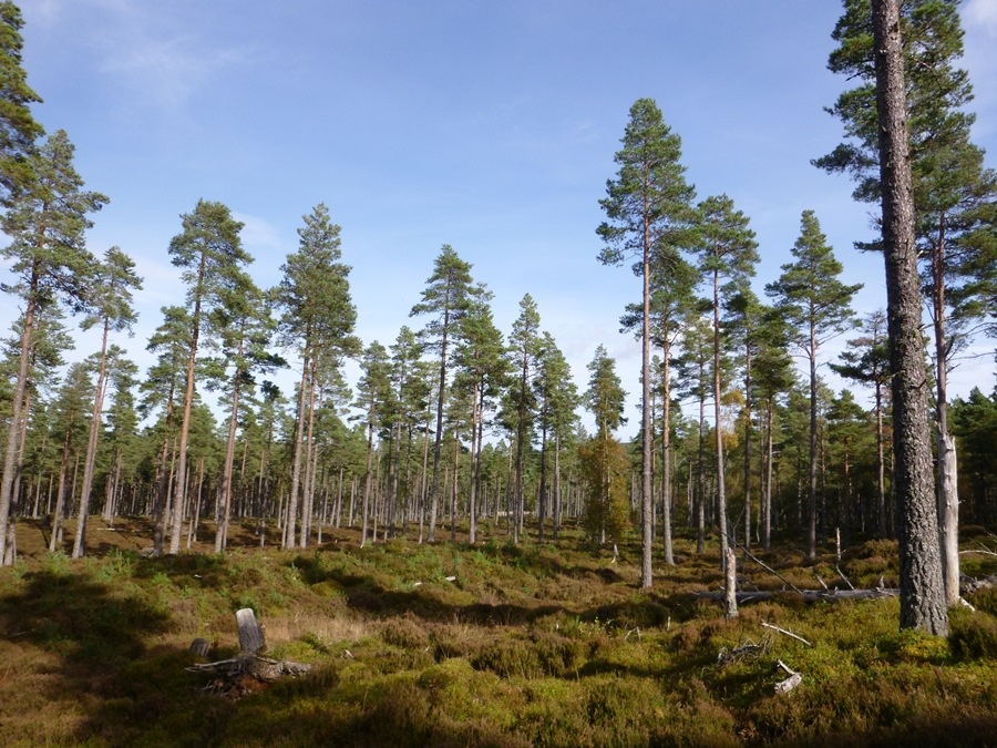 Mature stand of Scots pine opened up to encourage natural regeneration